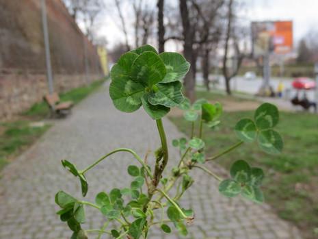 Eight leaf clover