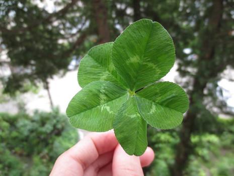 5 leaf clovers
