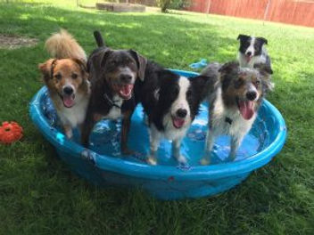 Puppies in a pool, Doggie playtime, Border Collie, Austrailian Shepherd, Rescue Dogs