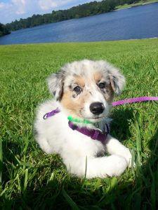 Puppy Training, Border Collie, Australian Shepherd Puppy,