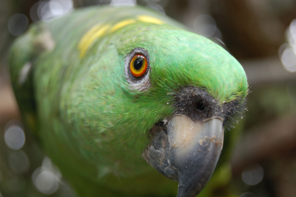 Amazon parrot head shot close up