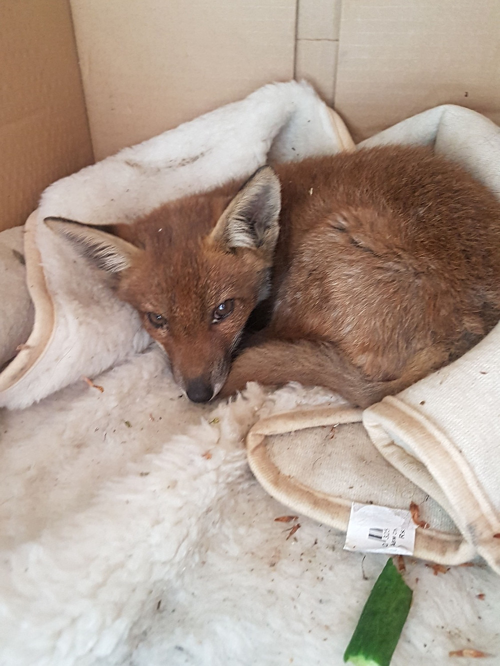 Fox cub insitu at incident location