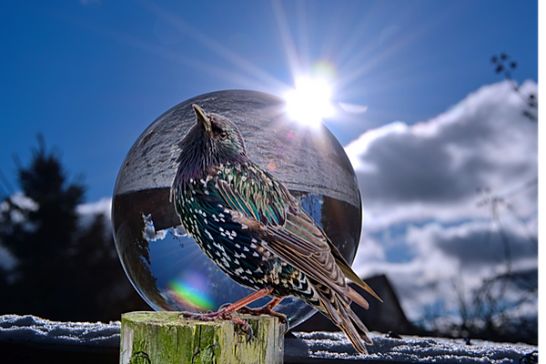 Starling in globe Photofox6.png