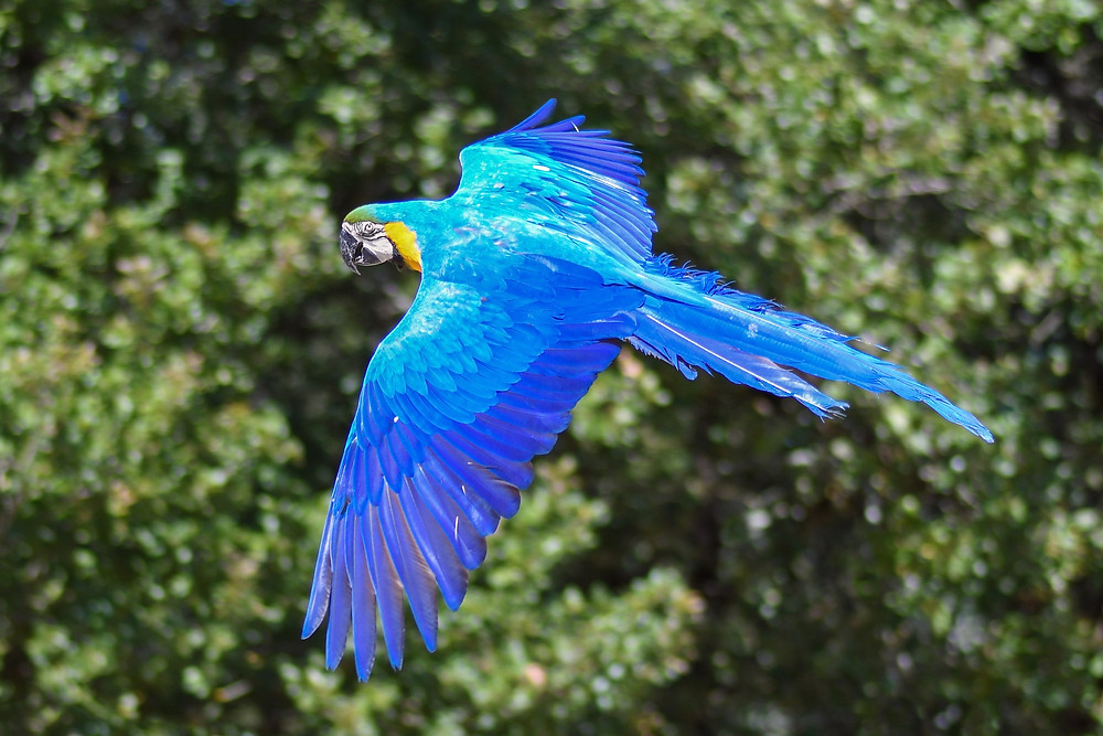 A blue and yellow macaw flying
