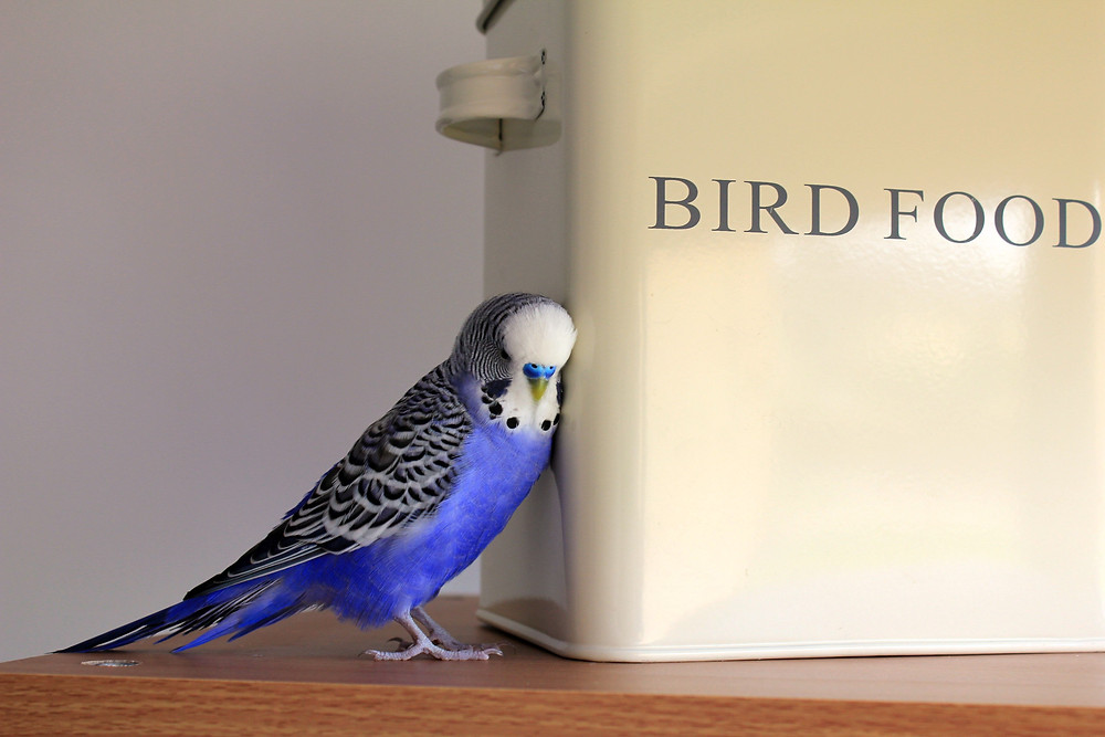 A blue and white budgie in the home