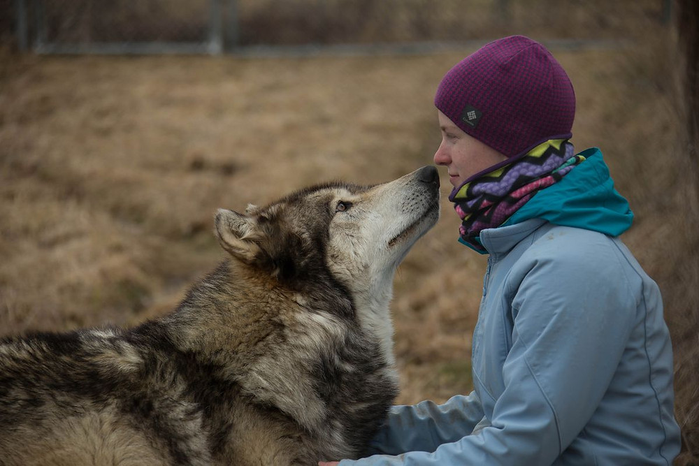 Pictured - A socialised grey wolf says hello to a human