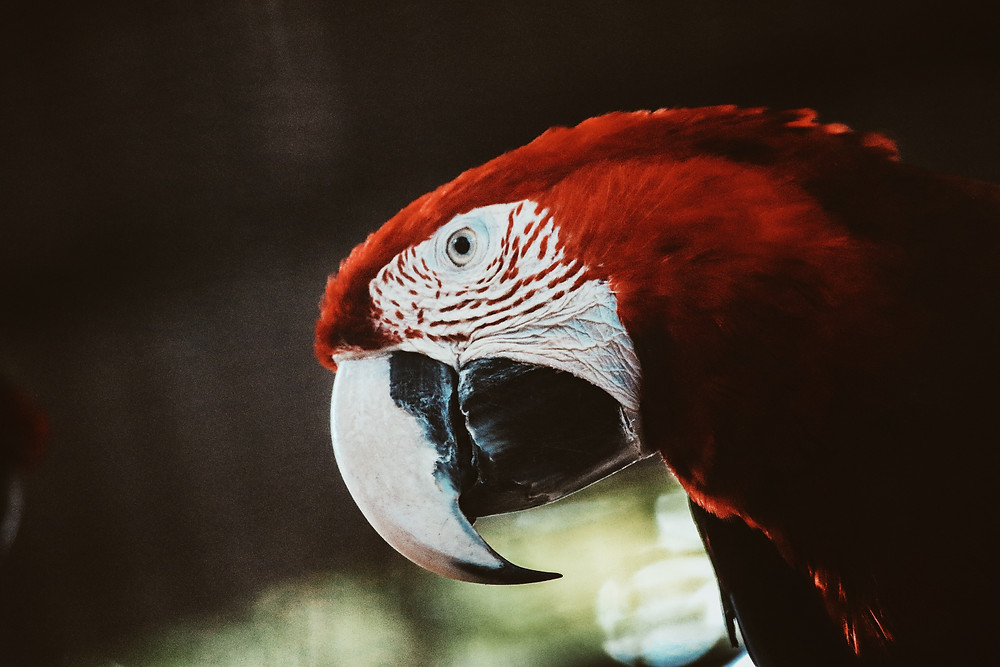 Red Macaw Head shot