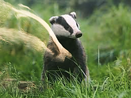 Badgers Photofox4.png