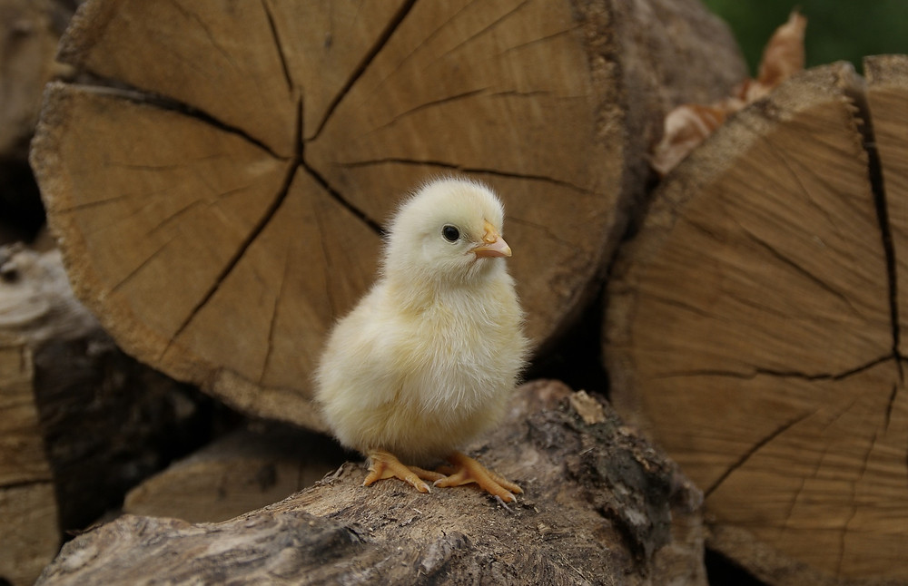 Day old chick exploring