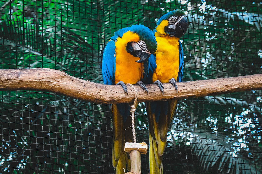 Two macaws perching with a toy