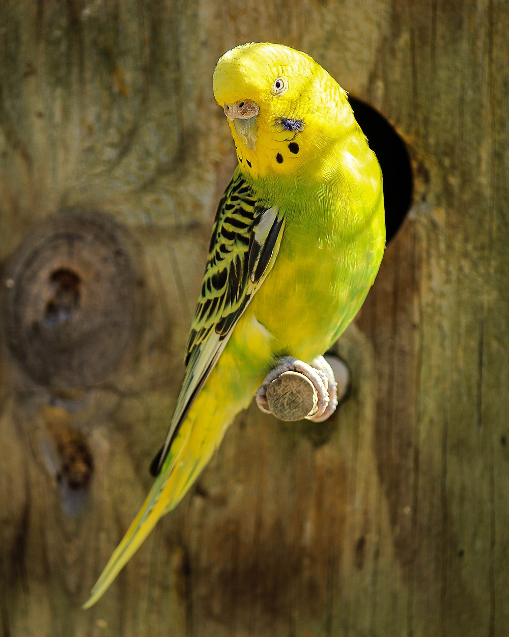 A yellow budgie perching