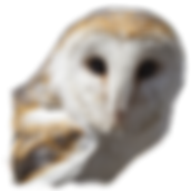 Barn owl head - trans-png.png