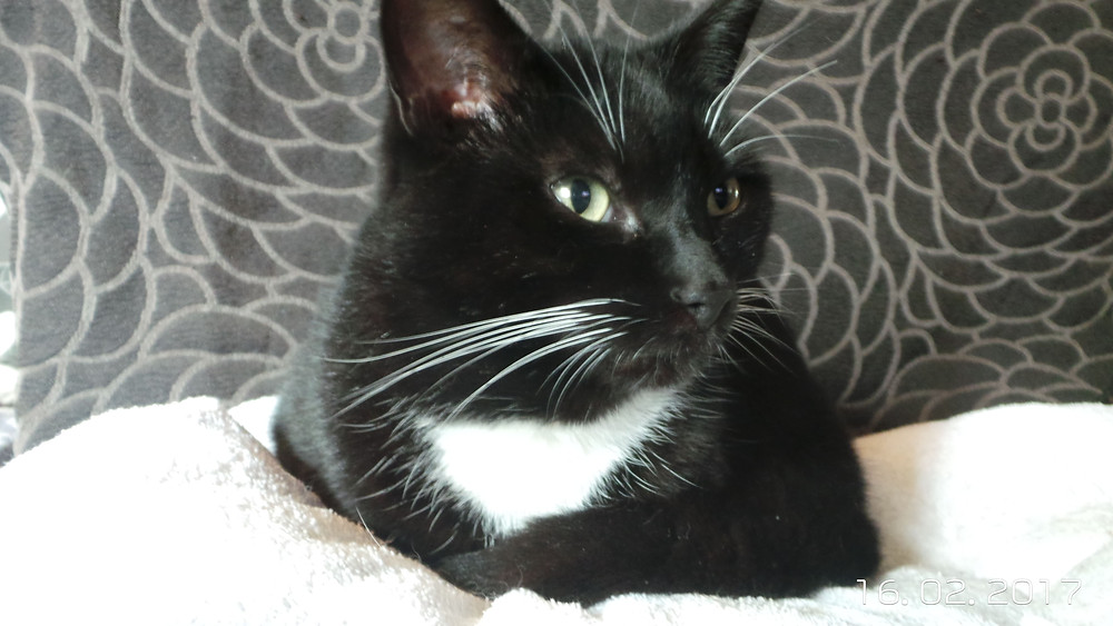Black and white cat comfy