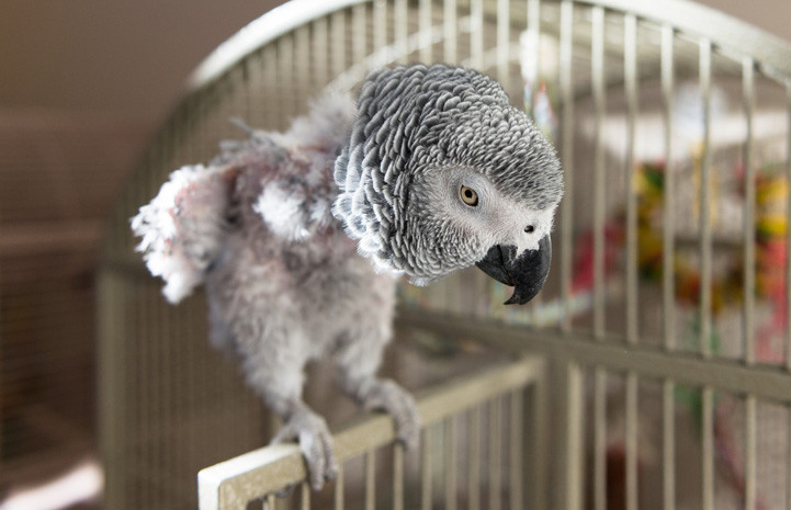 Grey parrot self plucking