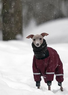 Whippet keeping warm in winter