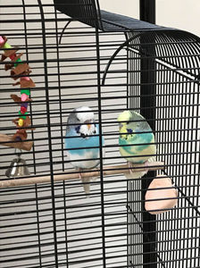 Urgent foster and new home required for two budgies