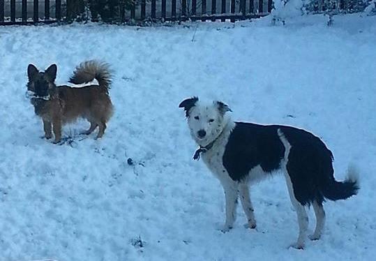 Wispa and charlie enjoying the snow