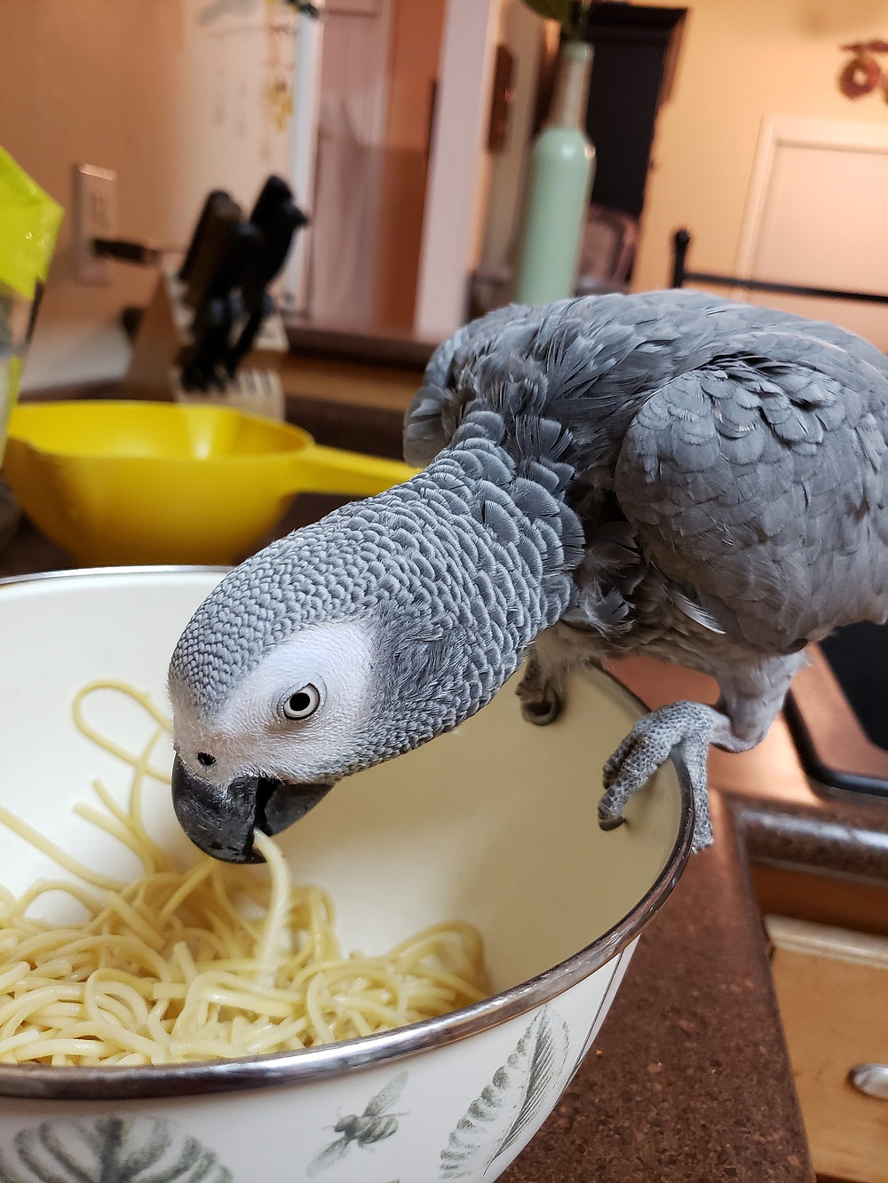 African Grey eating noodles