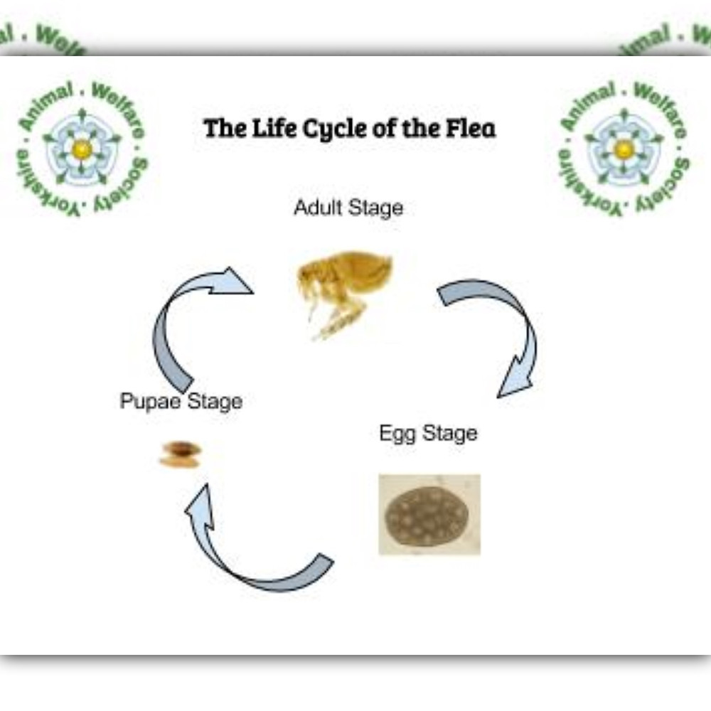 The life cycle of the flea