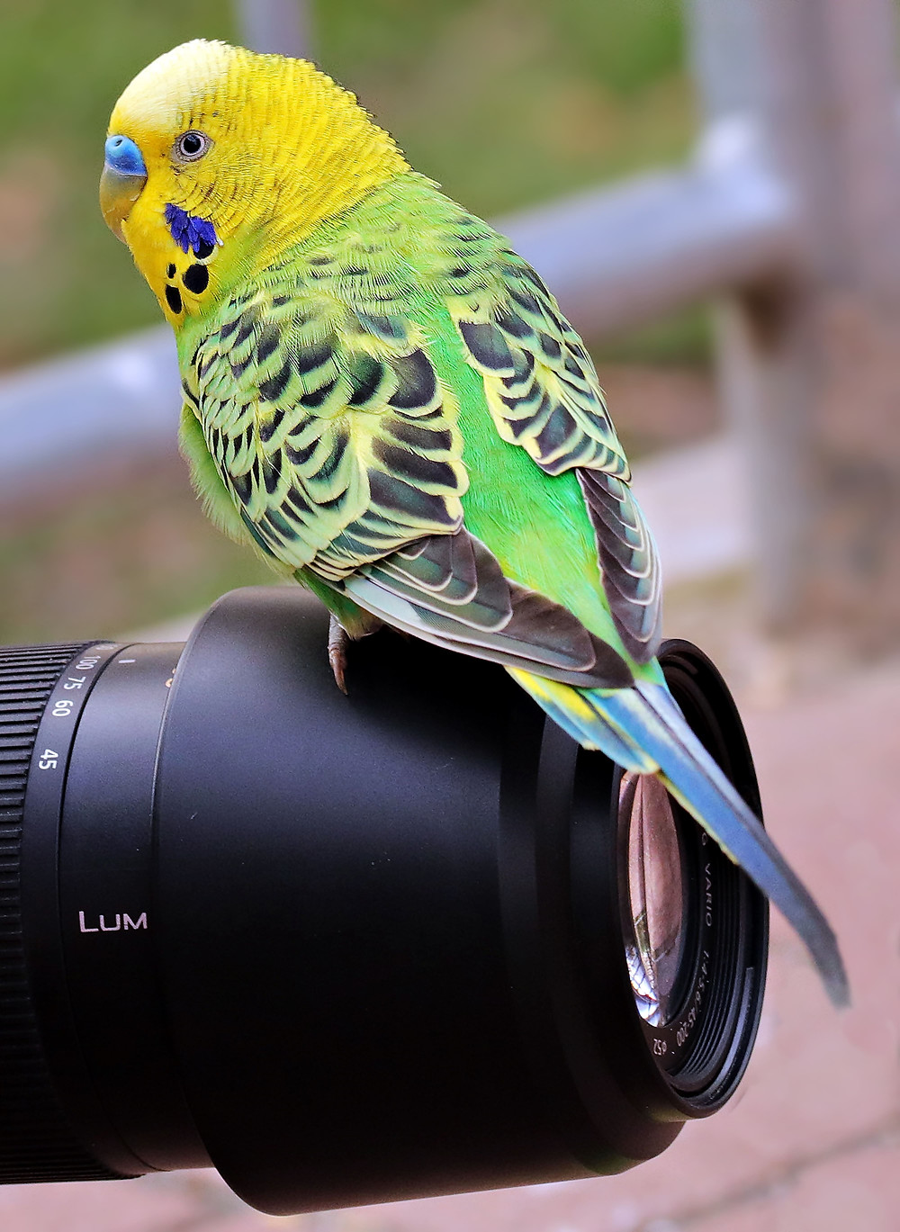 A yellow and green budgie perched on a camera lens