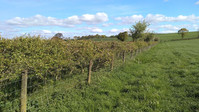 Sequestering soil carbon by planting hedgerows