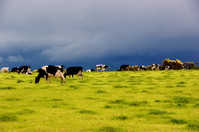 New research to increase resilience of dairy production