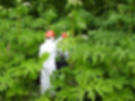 Hogweed, Invasive specieas spraying, spraying hogweed