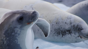People power and satellites help us study climate impacts on Antarctic seals