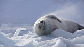 Counting seals from space