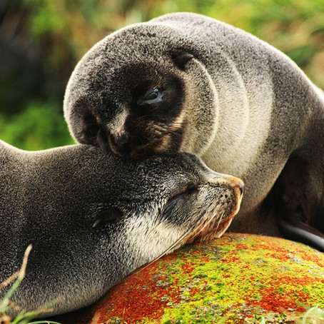 Neighbouring seals forage in different places despite similarity of available habitat