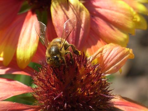 abeille 4 (3).JPG