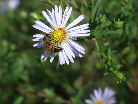 abeille et aster 4.JPG