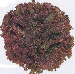 Lettuce New Red Fire.jpg