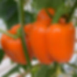 Sweet Pepper Jory F1 Orange.jpg