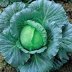 Cabbage K-K Cross F1.jpg