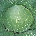 Cabbage Quick Start.jpg
