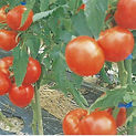 Tomato Grandeur 1.jpg