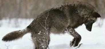 blackwolfsawtooth1.jpg.w300h142.jpg