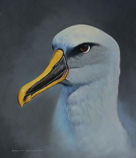 Buller's Albatross.JPG