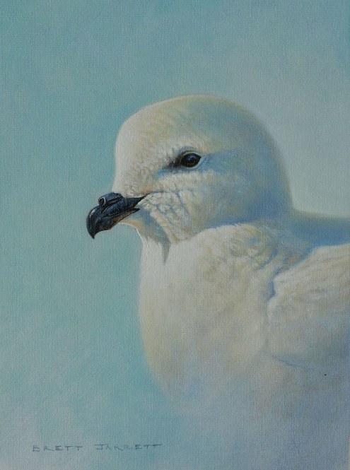 Greater Snow Petrel