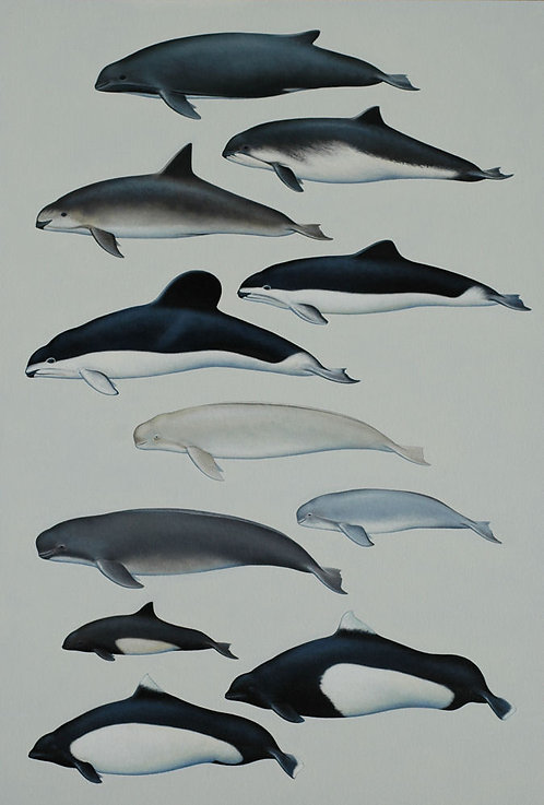 Porpoise Species of the World
