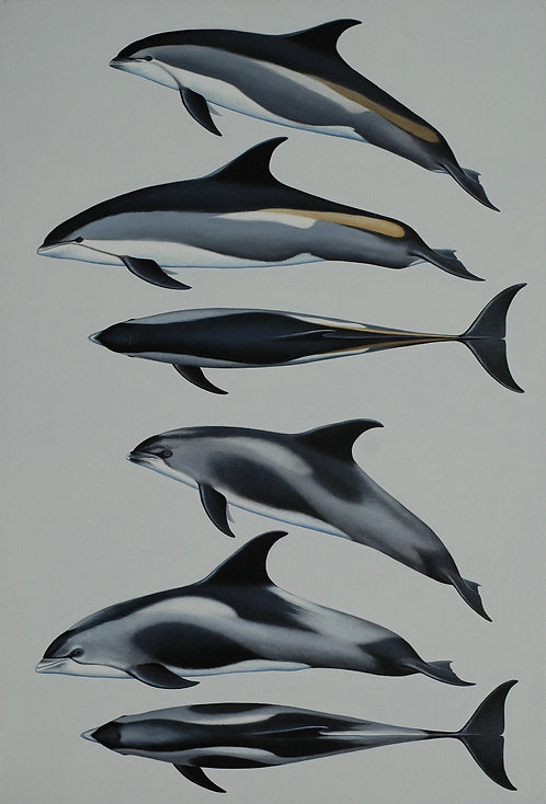 White-beaked Dolphin and Atlantic White-sided Dolphin