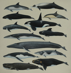 Whales and Dolphins of Southern Australi