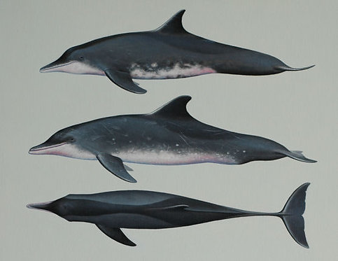 Rough-toothed Dolphins