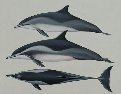 Clymene Dolphins
