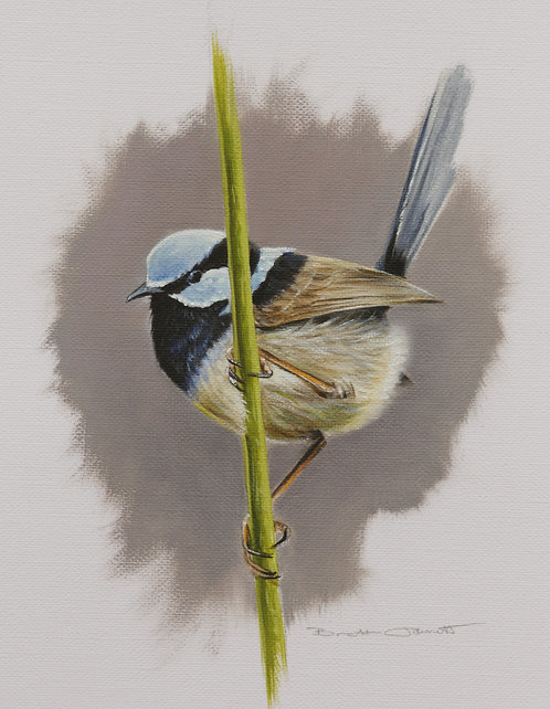 Superb Fairy-wren A
