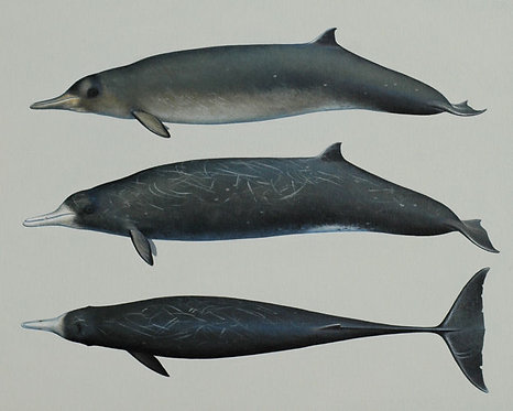 Gray's Beaked Whales