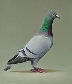 Racing Pigeon portrait 34 x 39 cm birds.