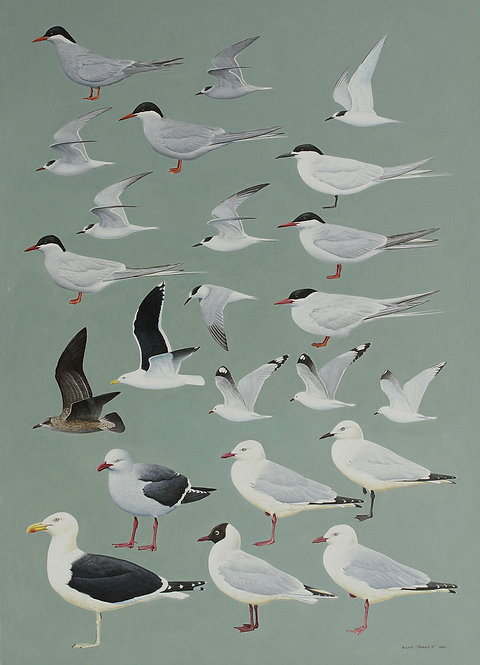 Antarctic Guide Illustrations Gulls and Terns