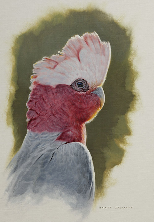Galah Portrait